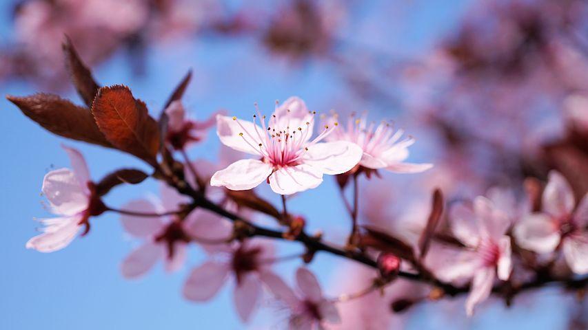 Cherry blossom 3308735 480