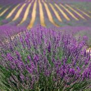 juin Lavender 894919 480