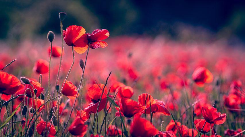 Poppies 3374193 480
